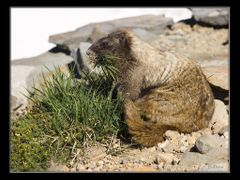 Marmot gathers grass, Mt. Rainier by <b>Jim Dockery</b> ( a Panoramio image )