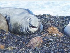 Elephant Seal checking his harem by <b>Huw Harlech</b> ( a Panoramio image )