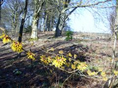 Hamamelis ~ Witch Hazel @ Colzuim Estate by <b>Judith,</b> ( a Panoramio image )