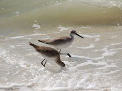 Willet by <b>ritli</b> ( a Panoramio image )