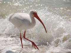 Adult White Ibis by <b>ritli</b> ( a Panoramio image )