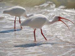 White Ibis by <b>ritli</b> ( a Panoramio image )