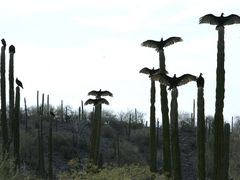 baja-california vultures by <b>illusandpics.com</b> ( a Panoramio image )