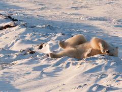 polar bear manitoba canada by <b>Peder Palsh?j Pedersen</b> ( a Panoramio image )