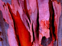 Floral Art: Pink Gum and Bloodwood by <b>Ian Stehbens</b> ( a Panoramio image )
