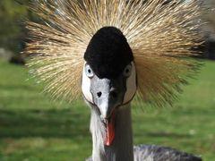 NaturZoo Rheine - Kroonkraanvogel - Grey Crowned Crane - Grauhal by <b>©JPix</b> ( a Panoramio image )