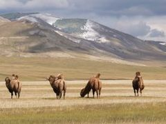 Camels beside the road between Muron and Khatgal Khovsgol Mongol by <b>Panoramic Journeys</b> ( a Panoramio image )