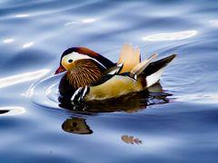 mandarin duck on herastrau lake by <b>nctm</b> ( a Panoramio image )