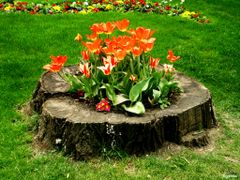 Tulips  symphony by <b>Argenna</b> ( a Panoramio image )