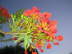 BVI flower by <b>Rob Boudreau</b> ( a Panoramio image )
