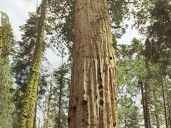 Giant Sequoia 1 (Washington Tree) by <b>Hans Hartings</b> ( a Panoramio image )