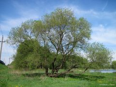 Ива / willow by <b>SangoroD</b> ( a Panoramio image )