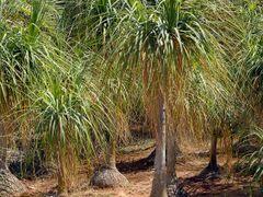 "Пальмы всякие бывают.....   ""Elephant feet"" by <b>nadiakushnir</b> ( a Panoramio image )"