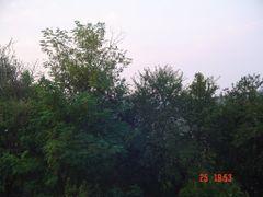 Black locust - Honey tree of Lukovo by <b>Montenegrin77</b> ( a Panoramio image )