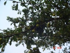 Threre are very much of Cherry Plum trees in Lukovo by <b>Montenegrin77</b> ( a Panoramio image )
