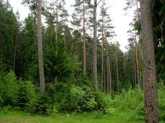 Pinewood along Glublja lake by <b>sergej-ka</b> ( a Panoramio image )