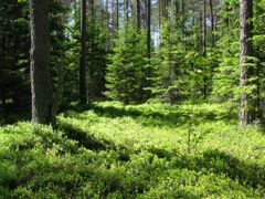 Summer forest by <b>sergej-ka</b> ( a Panoramio image )