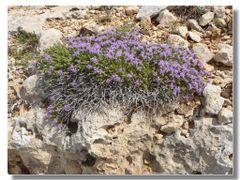 """Comino la pianta che da il nome all""""isola di COMINO by <b>Rafl</b> ( a Panoramio image )"""