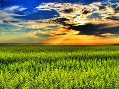 Canola Field by <b>Stickman</b> ( a Panoramio image )