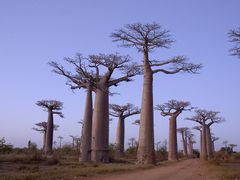 Baobab Avenue after sunset by <b>David Thyberg</b> ( a Panoramio image )