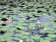 "Belize : New River (Lamanai) ""Jesus bird"" by <b>Dominique Hazard</b> ( a Panoramio image )"