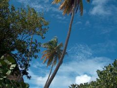 Palmeras en Virgin Gorda by <b>VIAJERO22</b> ( a Panoramio image )