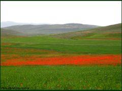 Red poppy flowers plain around quchan (Emamverdikhan) by <b>?Berat Qevi Endam</b> ( a Panoramio image )