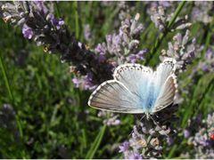 Mariposa  blu by <b>Guto-Mantua</b> ( a Panoramio image )