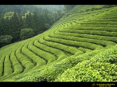 Green Tea Field by <b>Lee Sung-Hak</b> ( a Panoramio image )