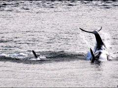 Orcas by <b>Gabor Retei</b> ( a Panoramio image )
