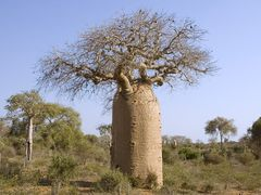 1000 year old baobab tree, Reniala Arboretum by <b>David Thyberg</b> ( a Panoramio image )
