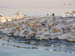 Pelicanos en el Lago de Chapala - Pelikans in Chapala Lake by <b>J.Ernesto Ortiz Razo</b> ( a Panoramio image )