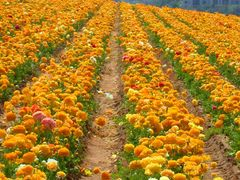 Flower Fields (photo by BS Anh) by <b>Hoang Khai Nhan</b> ( a Panoramio image )