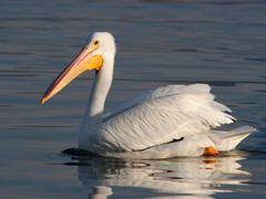 Pelikan by <b>J.Ernesto Ortiz Razo</b> ( a Panoramio image )