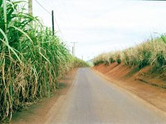 Mauritius canne da zucchero by <b>© micheleloreto</b> ( a Panoramio image )
