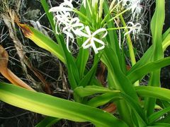 Crinum pedunculatum (Amaryllidaceae) by <b>orkology by Greg S</b> ( a Panoramio image )