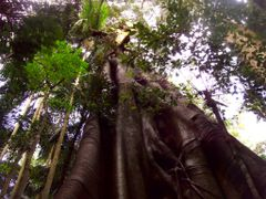 Mt. Tamborine NP Rainforest Tree by <b>Korkut</b> ( a Panoramio image )