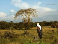 African Crowned Eagle by <b>47824782mf</b> ( a Panoramio image )