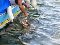 River Dalyan turtle careta-careta by <b>majasa</b> ( a Panoramio image )