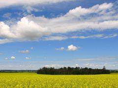 Canola field near Innisfail by <b>Nawitka</b> ( a Panoramio image )