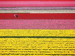tulip by <b>???-Osamu nakamura</b> ( a Panoramio image )
