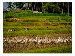 LIMPIADORES DE LOS ARROZALES / RICEFIELDS CLEANERS by <b>anaberdi</b> ( a Panoramio image )