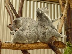 ??? Koala by <b>Pozlp??</b> ( a Panoramio image )