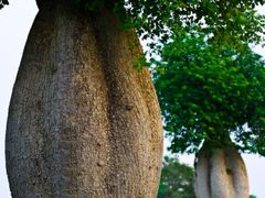 Toborochi trees at the Aspire Park by <b>S?ren Terp</b> ( a Panoramio image )