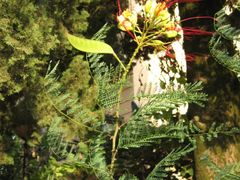 Caesalpinia gillesii (Poinciana gillesii) by <b>sonjabgd</b> ( a Panoramio image )