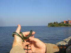 Mariu zaltys / Lagoon grassnake by <b>Liutauras G.</b> ( a Panoramio image )