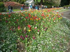 Spring time: Tulips by <b>Eva Kaprinay</b> ( a Panoramio image )