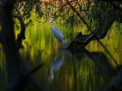 Le heron by <b>Rudy Picke</b> ( a Panoramio image )