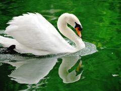 White Swan... by <b>FGirolamo</b> ( a Panoramio image )