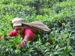 Plucking Tea Leaves,Tea  Garden, Sreemangal by <b>F.Zaman</b> ( a Panoramio image )